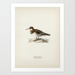 Red-breasted Goose (Branta ruficollis) illustrated by the von Wright brothers Art Print