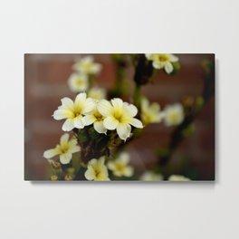 Sisyrinchium striatum (Aunt May) pale yellow flower Metal Print