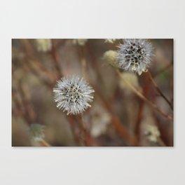 Closeup Of Mature Seed-head Coachella Wildlife Preserve Canvas Print