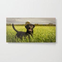 Labrador in the Spring Barley Metal Print