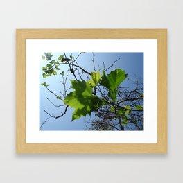 Sycamore Framed Art Print
