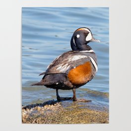 Beautiful Harlequin Duck on the Rocks Poster