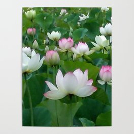 Water lilies 1. Poster