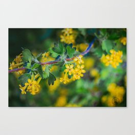 Yellow Blossoms 1 Canvas Print
