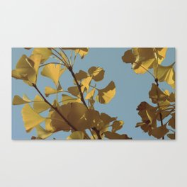 Yellow Ginkgo Leaves Canvas Print