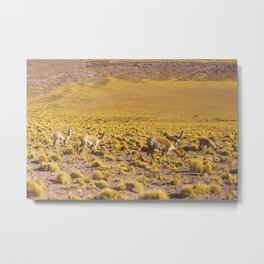Vicuñas in the Desert, San Pedro de Atacama, Chile Metal Print