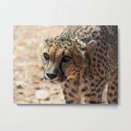 African Cheetah Metal Print