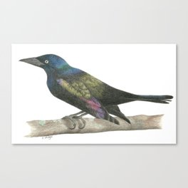 Grackle in the Sunshine - Colored Pencil Canvas Print