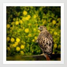 Hawk in sunflowers Art Print