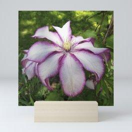Clematis - Stunning two-tone flowers Mini Art Print