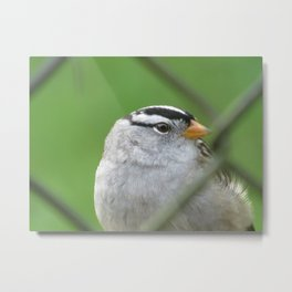 White crowned sparrow in my fence Metal Print