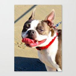 Portrait of a Boston Terrier Canvas Print