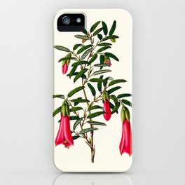 Philesia Buxifolia Vintage Scientific Botanical Flower Illustration Hand Drawn Art iPhone Case