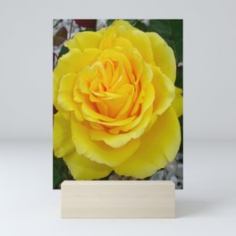 Head On View Of A Yellow Rose With Garden Background Mini Art Print