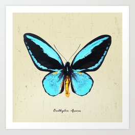 Butterfly01_Ornithoptera  Aesacus Art Print