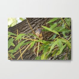 Hiding Squirrel Photography Print Metal Print
