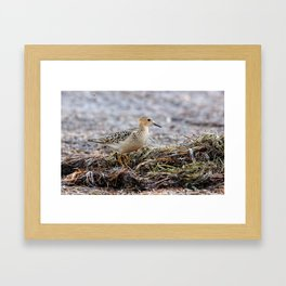 Profile of a Buff-Breasted Sandpiper Framed Art Print