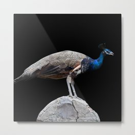 Peacock. Magic Bird Metal Print