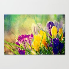 The first crocuses bloom Canvas Print