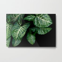 Green leaf of Colocasia esculenta Metal Print