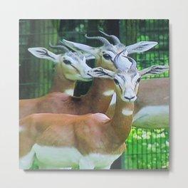 Gazelles Metal Print