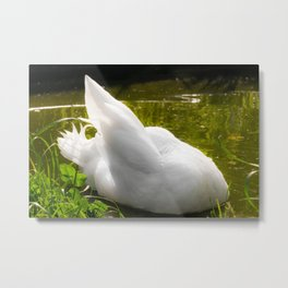 White Male Call Duck Preening Metal Print