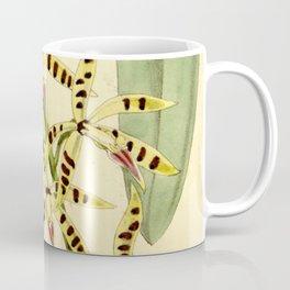 Prosthechea prismatocarpa (as Epidendrum prismatocarpum) Curtis' 88 (Ser. 3 no. 18) pl. 5336 (1862) Coffee Mug