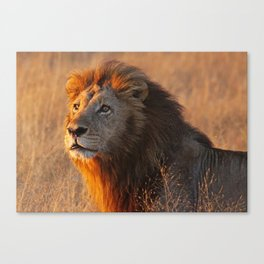Lion in the morning light, Africa wildlife Canvas Print