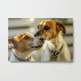 Two Dogs (Jack Russels) Metal Print