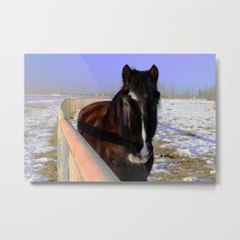 Mahogany Bay Draft Horse Metal Print