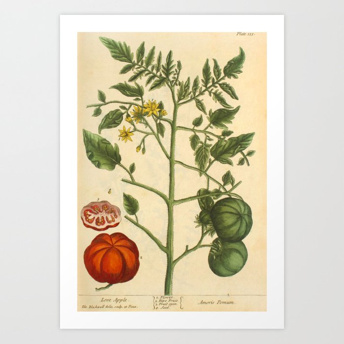 """Tomato by Elizabeth Blackwell from """"A Curious Herbal,"""" 1737 (benefiting The Nature Conservancy) Art Print"""