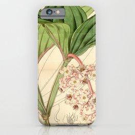 Flower 4321 medinilla speciosa Showy Medinilla1 iPhone Case