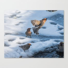 Bohemian Waxwing Splash Canvas Print