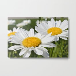 Summer Time Daisies Photography Metal Print