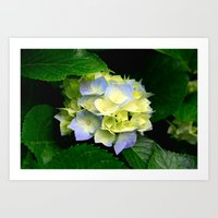 hydrangea Art Prints featuring Hydrangea  by Chris' Landscape Images & Designs