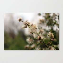 Fluffy weed Canvas Print