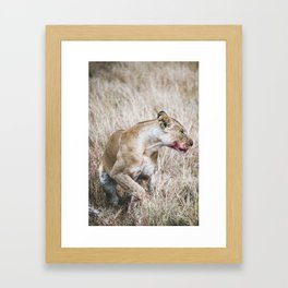 Leones after getting prey Framed Art Print