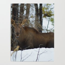 Moose calf in the snow, Canadian Rockies Mountains Poster