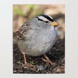 Profile of a White-Crowned Sparrow Poster