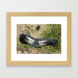 Andean Condor Spreading Its Wings Framed Art Print