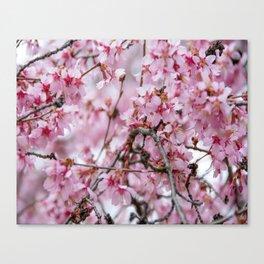 Cherry Blossom-1 Canvas Print