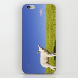 Texel lamb on the island of Texel, The Netherlands iPhone Skin