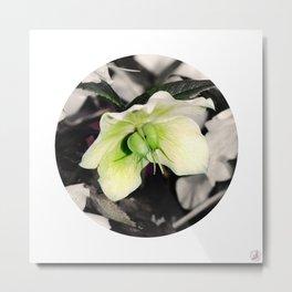 Hellebore, flower Metal Print