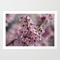 Spring Pink Cherry Blossom Flowers Art Print