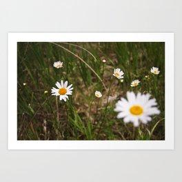 daisy field. Art Print
