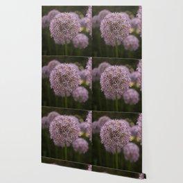 Purple Allium Ornamental Onion Flowers Blooming in a Spring Garden 1 Wallpaper