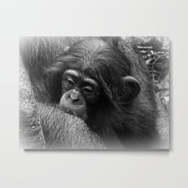 Baby Chimpanzee Cuddling Close to Mom Black and White Metal Print