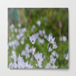 Spring Starflower  - Tristagma uniflorum Metal Print