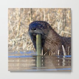 Watercolor Otter 02, Jane's Island, Maryland Metal Print