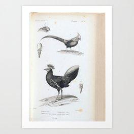 088 Golden Pheasant phasianus pictus Bornean or Malaysian Fireback phasianus ignitus6 Art Print